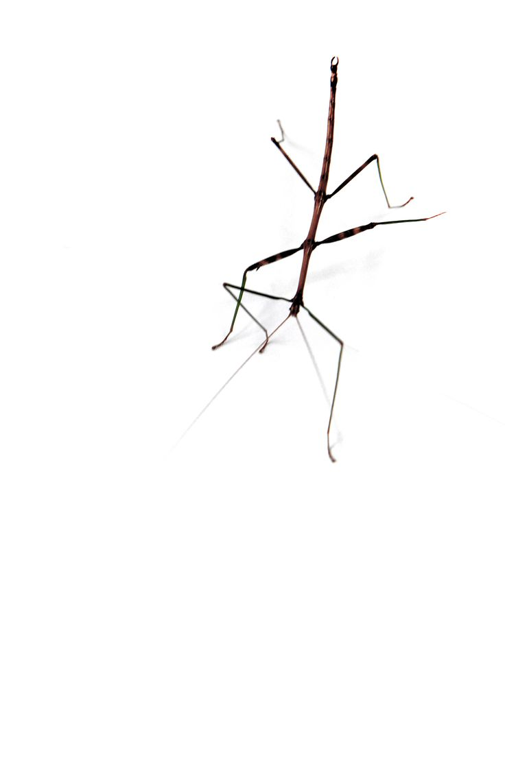Stick bugs can destroy crops. Growers have to protect their plants from insects. - stillblog.com