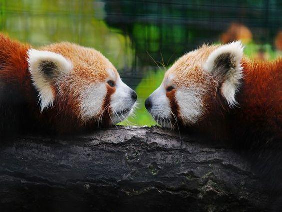 Fotografia osos panda rojos  [21-6-17]