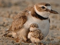Wilson's Plover and Chick | RJ Wiley: Mystery Birds, July Mystery, Months Purple, Wilson Plover, Audubon Advisory, 2012 Issues, Audubon Society, Advisory July, July 2012