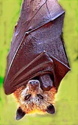 El Acerodon jubatus o zorro volador filipino