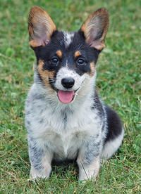Corgi mix puppy.