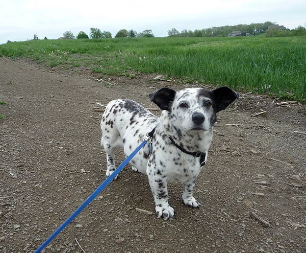 Corgi-dalmatian mix. And more of the best dog mixes ever. Ever.