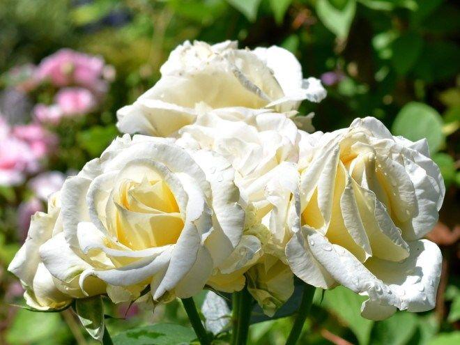 Roza Fryderyk Chopin Piekna Jak Muzyka Flowers Plants Rose