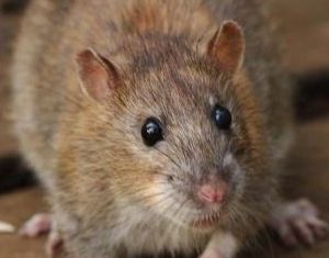 brown rats enjoy free board and lodging in nice warm human homes