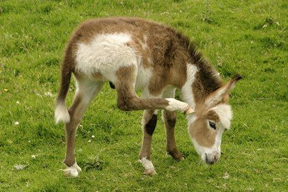 Can Lavender, Tea Tree Oils Treat Chewing Lice in Donkeys?