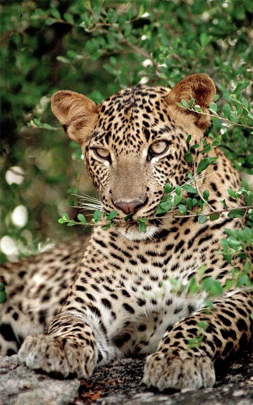 Op zoek naar het luipaard tijdens een spannende jeepsafari door het Yala National Park. Voor de mooiste natuurreizen naar Sri Lanka kijkt u op Original Asia! Rondreis - Vakantie - Sri Lanka - Yala National Park - Jeepsafari - Luipaard