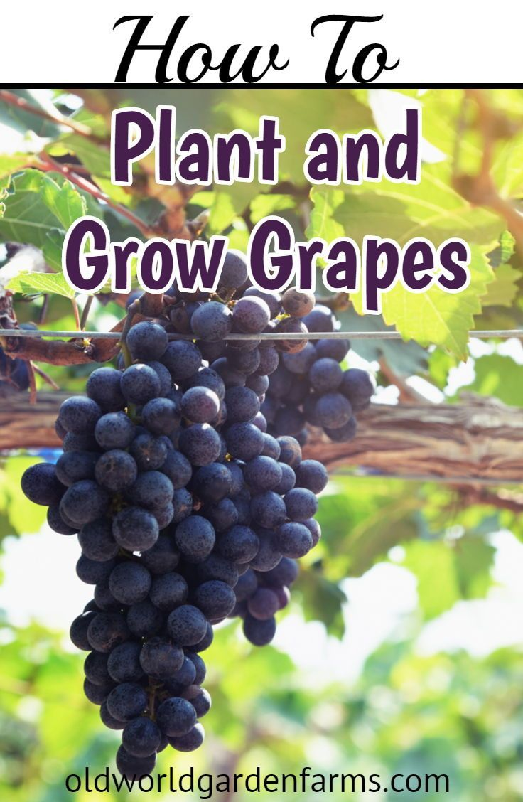 How To Easily Plant And Grow Grapes In Your Backyard Container
