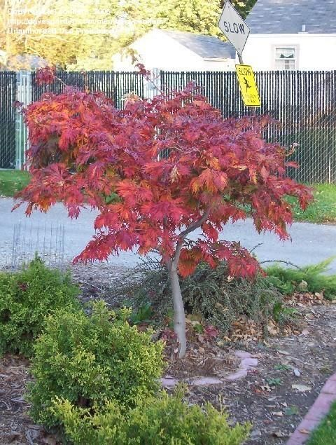 Acer japonicum 'Acontifolium', or the Fernleaf Full Moon Maple, hardy to -20