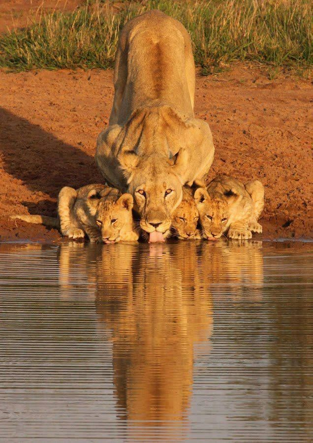 Mother Lion and her cubs ~ I love how she is actually looking at the camera!