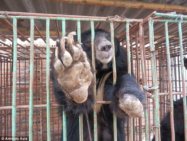 Bears held to harvest their bile are going on 'hunger strikes' as ...