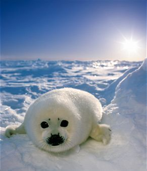 Harp Seal pup - gulf of Saint Lawrence, Quebec, Canada  (by Dale Wilson)