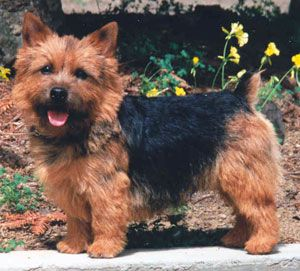 Norwich Terrier. They are members of the terrier group. They are great vermin hunters. They stand under 10 inches at the shoulder and weigh about 12 pounds. Winners: 1994 and 1998.