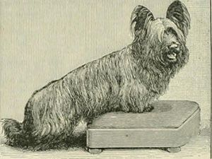 Clydesdale Terrier or Paisley Terrier, ancestor of the Yorkshire Terrier