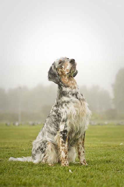 English setter...beautiful