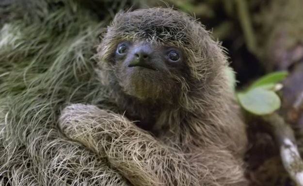The pygmy three-toed sloth is critically endangered and they are found only on a small island off the coast of Panama, called Isla Escudo de Veraguas. | 17 Astounding Facts About Sloths