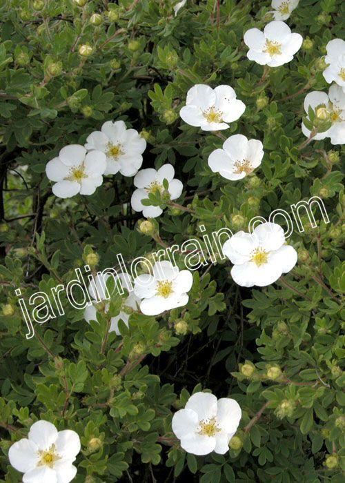 Paysagiste - Potentilla fruticosa 'Abbostwood' | Jardin Lorrain | Pépinière