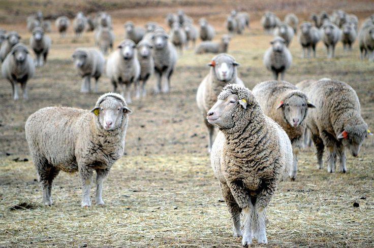 O turmă de oi drogate cu canabis a făcut prăpăd într-un sat din Țara Galilor