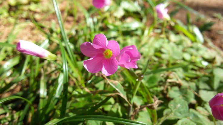 Los tréboles, además de darte suerte, dan bellas flores como esta pequeña.