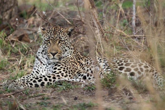 West Street male by Matt Meyer http://blog.malamala.com/index.php/2012/07/newly-named-leopards-of-malamala/