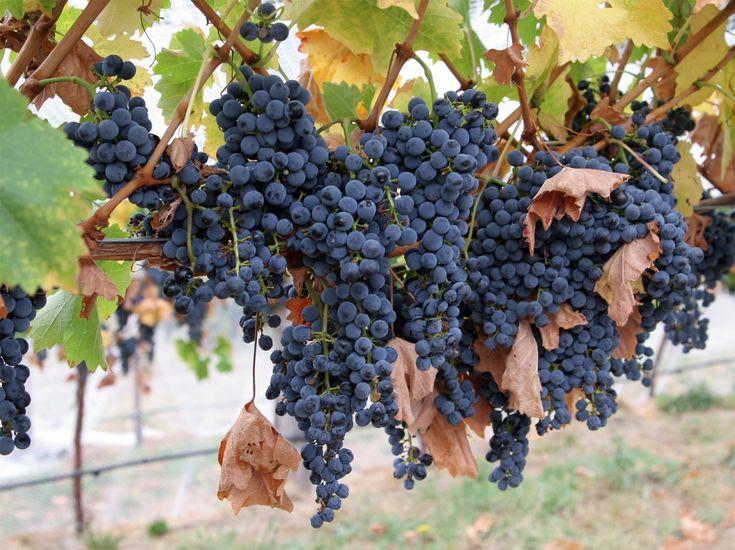 Укроп спасет виноград от болезней и вредителей. Друзья и враги винограда