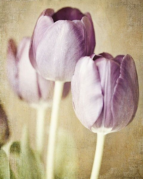 Pastel Lilac Tulips. Art Photograph 8x10. Dreamy, watercolor purple lime olive floral home decor. For her, baby, gift. Romance and love.