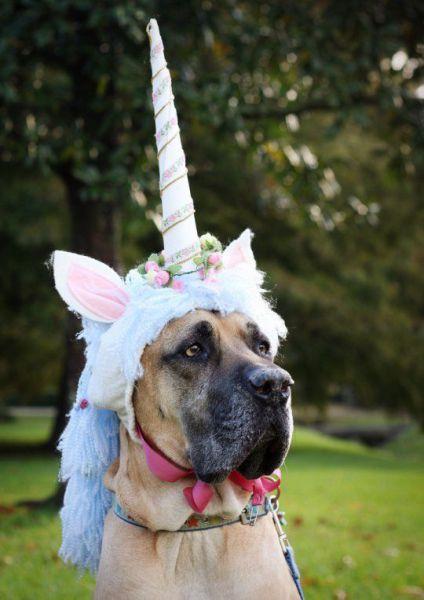 First I lurez them in wif dis disguise, den I catchez teh unicornz an makez dem give meh hotdogz