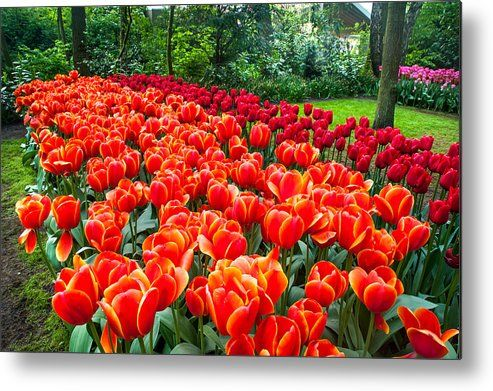 Colorful Corner Of The Keukenhof Garden 2. Tulips Display. Netherlands Metal Print by Jenny Rainbow.  All metal prints are professionally printed, packaged, and shipped within 3 - 4 business days and delivered ready-to-hang on your wall. Choose from multiple sizes and mounting options.