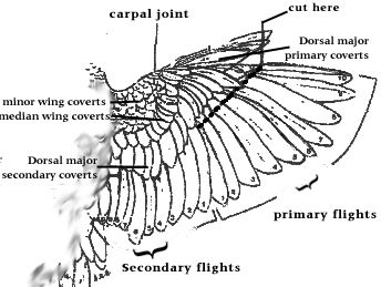 Birdmart.Com - PARROT CARE: GROOMING YOUR PARROT - WINGS. Clipping your parrot's wings is vital to your bird's safety. Learn why it is impor...