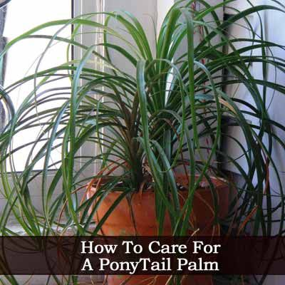 Ponytail Palm How To Care For The Plant My Plants House