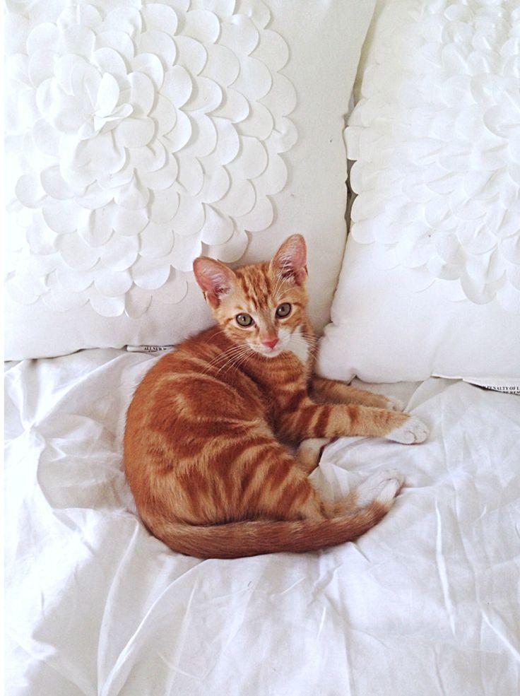 Jaxx the orange American shorthair