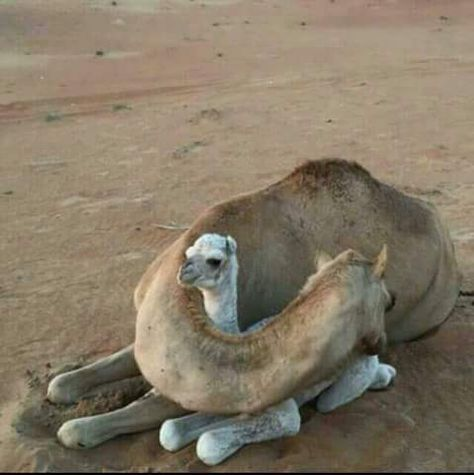 .Camel mom and her baby, because all creatures has a spiritual soul.