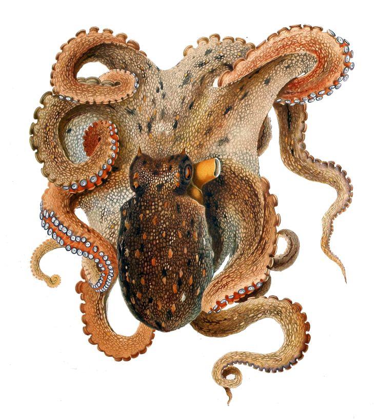Octopus vulgaris in un'illustrazione del 1896 di Comingio Merculiano