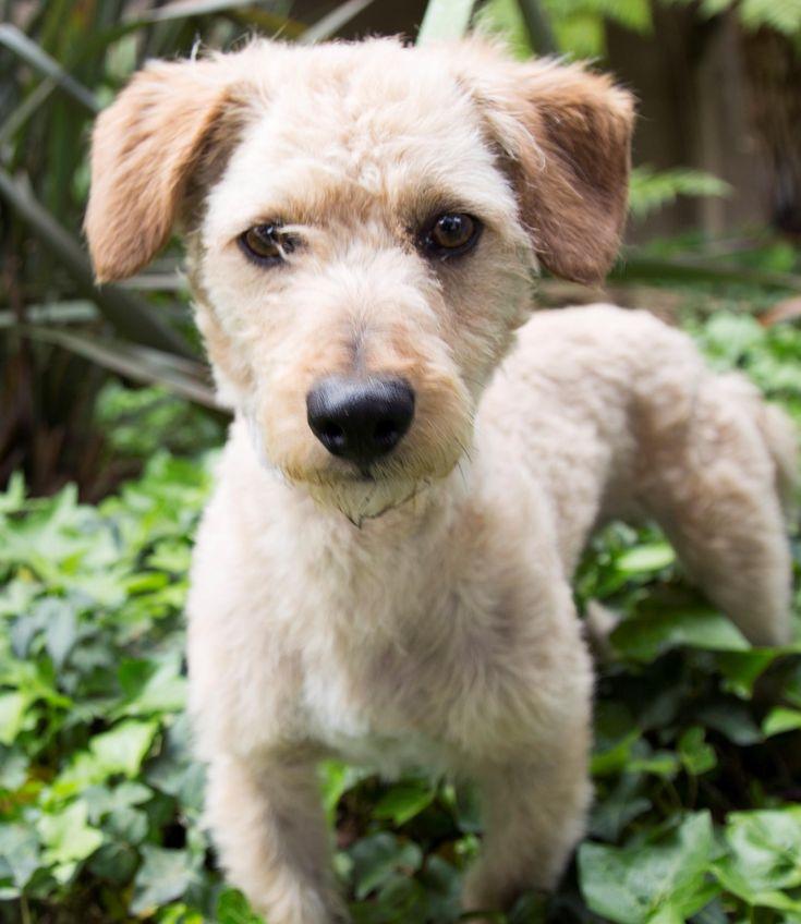Timothy is an adoptable Terrier searching for a forever family near Los Angeles, CA. Use Petfinder to find adoptable pets in your area.
