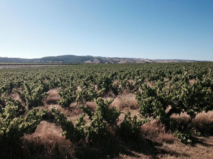 Australian Grenache is no longer all about confected fruit and a bit hit of alcohol. A new generation of winemakers in McClaren Vale is using old bush vines to make a fresher, leaner style.