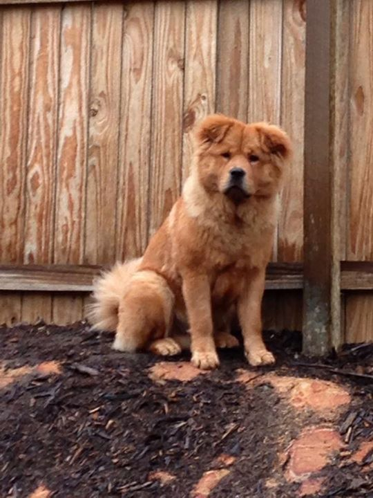 ❌Urgent❌ missing male Chow Chow named Hugo. Last seen in browns plains approximately 7pm tonight. Any help would be greatly appreciated. Mobile number to contact if found is Robert Price 0413 750 756 #rangloo, #bar, #accessories