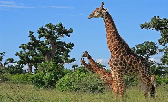 Reserve De Bandia Mbour Senegal Giraffe Animals