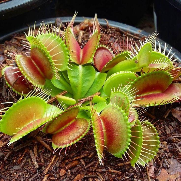 Bom dia! A dionéia (Dionaea muscipula) é uma planta carnívora nativa da América do Norte de sol pleno e áreas pantanosas. A dioneia habita brejos ácidos e com poucos nutrientes e por isso captura insetos para complementar sua nutrição em Nitrogênio. Deve ser cultivada em musgo (tipo sphagnum) e o substrato deve permanecer sempre úmido. O substrato não deve secar nunca sob o risco da planta morrer. -- Good morning! The Venus Flytrap (Dionaea muscipula) is a carnivorous plant native to North…