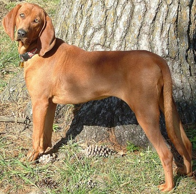 Redbone Coonhound - Known for its flashy red coat, the Redbone Coonhound is a versatile worker and possesses the ability to hunt and swim over a variety of terrain while still maintaining its speed and agility. Redbones possess a natural treeing instinct and will track game ranging from raccoons to cougars. An adaptable hunter with a good, cold nose, the breed is an excellent choice for the hunter who wants an honest, versatile and capable trailer.