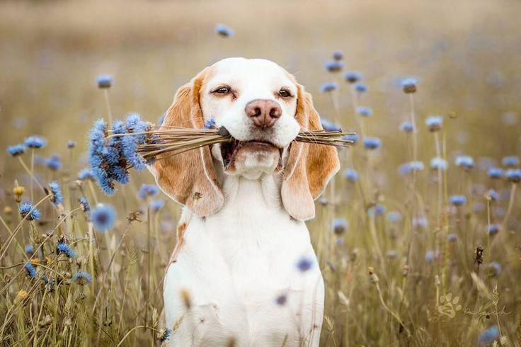 Beautiful lemon beagle