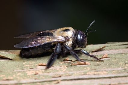 How to Kill Wood Boring Bees... in case the ones int he fence come back