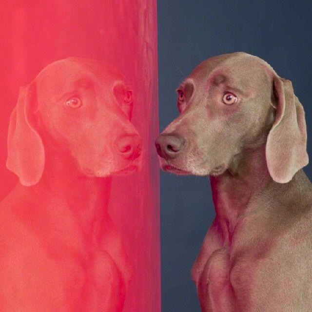 William Wegman ficou reconhecido por suas fotografias lúdicas e bem humoradas com seu cão da raça Weimaraner. Conheça o trabalho deste fotógrafo no MiMostra!