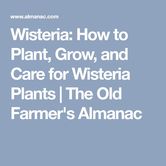 Wisteria: How to Plant, Grow, and Care for Wisteria Plants | The Old Farmer's Almanac
