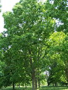 Pecan: species of hickory, native to south-central North America; large deciduous tree growing to 20-40 m in height; leaves are alternate, pinnate; flowers are wind-pollinated, monecious w/ staminate and pistillate catkins on the same tree; pecan is a drupe