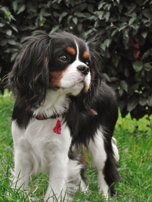 Hawai on www.yummypets.com King Charles Spaniel