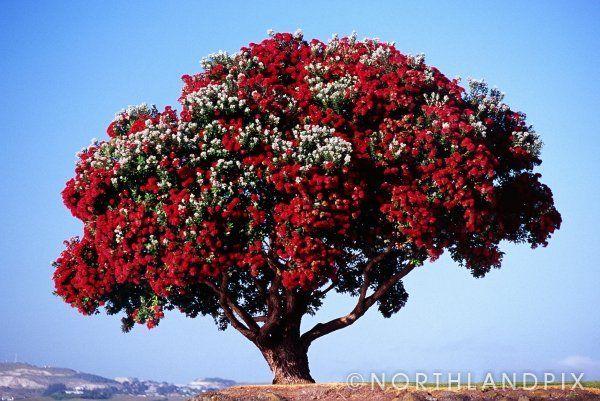 Pohutukawa tree in flower