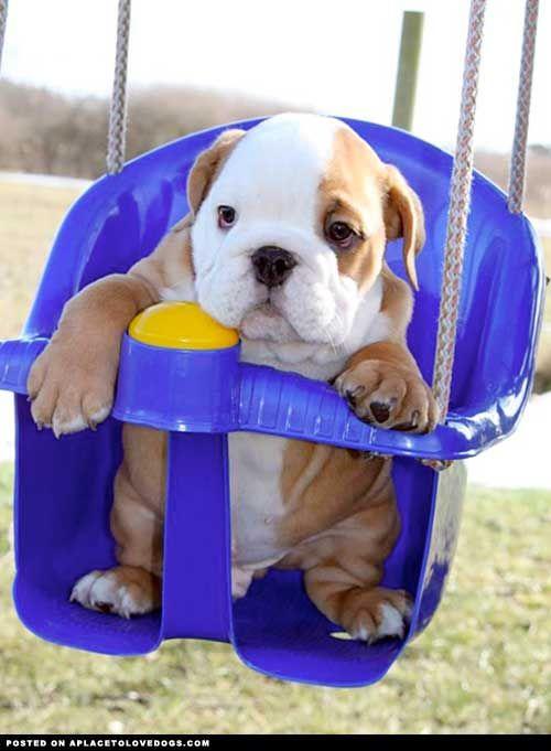 Baby Bulldogs | baby bulldog in a swing                                                                                                                                                                                 More