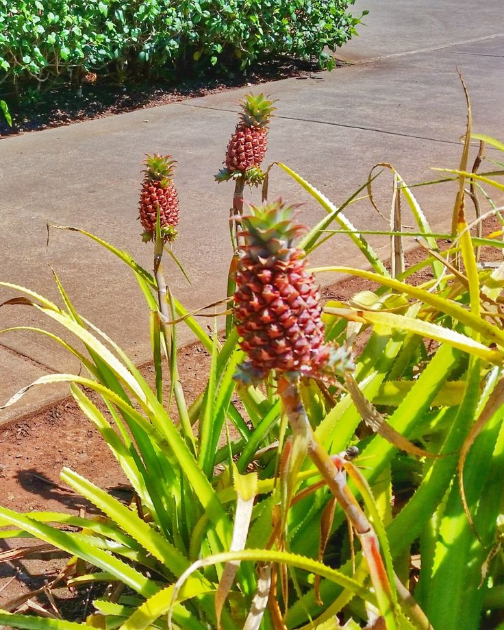 Baby pineapples at garden. Dole Plantation in Hawaii is a top tourist attraction in Oahu! Fun things to do for free when in Hawaii on a budget, and can also eat famous dole pineapple whip ice cream at the restaurant and go shopping for souvenirs at gift shop. There's maze, tours of the gardens, trains, with Hawaiian culture. Trip to dole pineapple plantation on Hawaii vacation can be on the way to North Shore beaches from Waikiki, and is worthy on list of Oahu activities and USA…