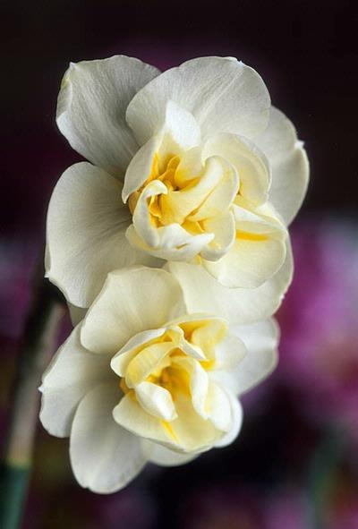 narcissus~ Olivia's birth month flower. December