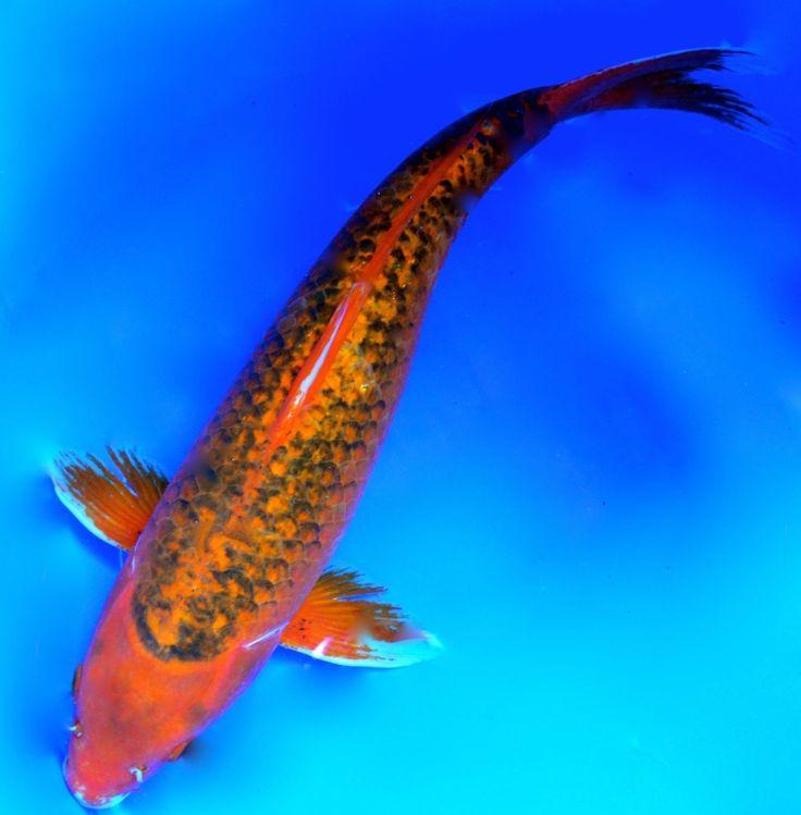 LIVE 17 INCH  AKA   MALE MATSUBA  KOI FISH FOR SALE