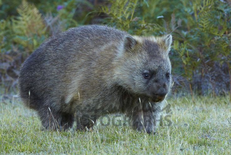Buy Photos of Koala and Wombats Online - Print & Canvas Images For ...